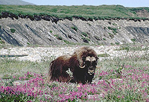 Muskox in Arctic NWR. These remarkable animals were extirpated from Alaska. Reintroduced from Greenland, they now number 4,000 in Alaska. (USFWS)